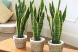 6 loại cây thích hợp đặt trong nhà diện tích nhỏ