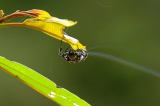 Video: Loài nhện độc đáo có thể phóng tơ 25m qua một con sông
