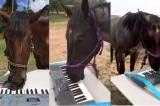ngựa chơi đàn piano