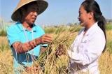 Trung Quốc trồng thành công giống lúa chịu mặn, hứa hẹn đủ nuôi 200 triệu dân