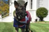 Chú chó cảnh sát bị sa thải vì… quá thân thiện