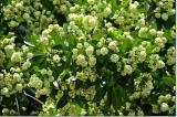 Dời 100 cây hoa sữa lên bãi rác Nam Sơn để giảm mùi