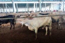 Phạt 70 triệu đồng trang trại nuôi bò gây ô nhiễm