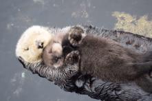 Ấm áp cảnh rái cá mẹ âu yếm ôm con ngủ trên mặt nước