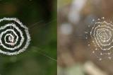 Nhện trang trí mạng nhện bằng những hình kỳ lạ, làm giới khoa học tranh cãi