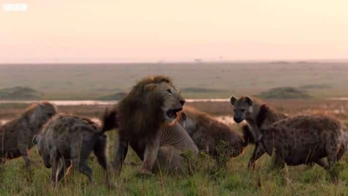 20 con linh cẩu bao vây một 1 sư tử, kết cuộc sẽ ra sao?