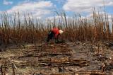 Đắk Lắk: Hơn 100ha mía của người dân bị cháy rụi