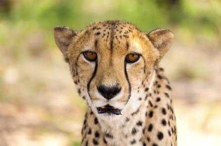 Tiếng kêu của báo săn Gêpa hùng dũng giống như tiếng… mèo con
