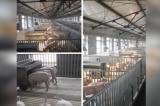 Trung Quốc: Dịch heo châu Phi tấn công khu chăn nuôi cao cấp, thông tin bị phong tỏa