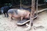 Bắc Ninh: Ít nhất 62 trẻ  bị nhiễm sán lợn nghi ăn thịt bẩn