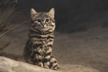 Dễ thương và lạnh lùng, đây là loài mèo săn mồi giỏi nhất thế giới