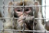 Nhà khoa học Trung Quốc lại gây chấn động khi cấy gen não người vào não khỉ