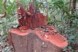 Quảng Bình: Khởi tố 5 đối tượng phá rừng gỗ lim