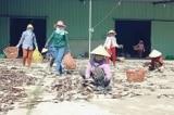 Trung Quốc thay đổi nhập khẩu, hàng trăm tấn mực khô ở Quảng Nam 'nằm dài'