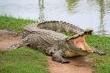 Cô bé 11 tuổi lao vào đánh cá sấu cứu bạn