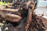 Cây phượng bật gốc, đè chết 1 học sinh đã trồng 24 năm