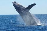Ly kỳ: 3 con cá voi sát thủ bao vây 2 mẹ con cá voi lưng gù