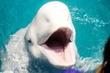 """Không nên đến gần cá voi trắng được thả ra từ """"Nhà tù cá voi"""""""