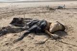 Xác sinh vật kỳ lạ dài gần 5m dạt vào bãi biển ở Anh